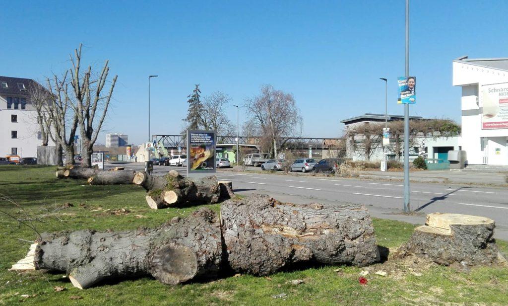4 gefällte große, alte Bäume in der Grünanlage an der Vangerowstraße, Bergheim