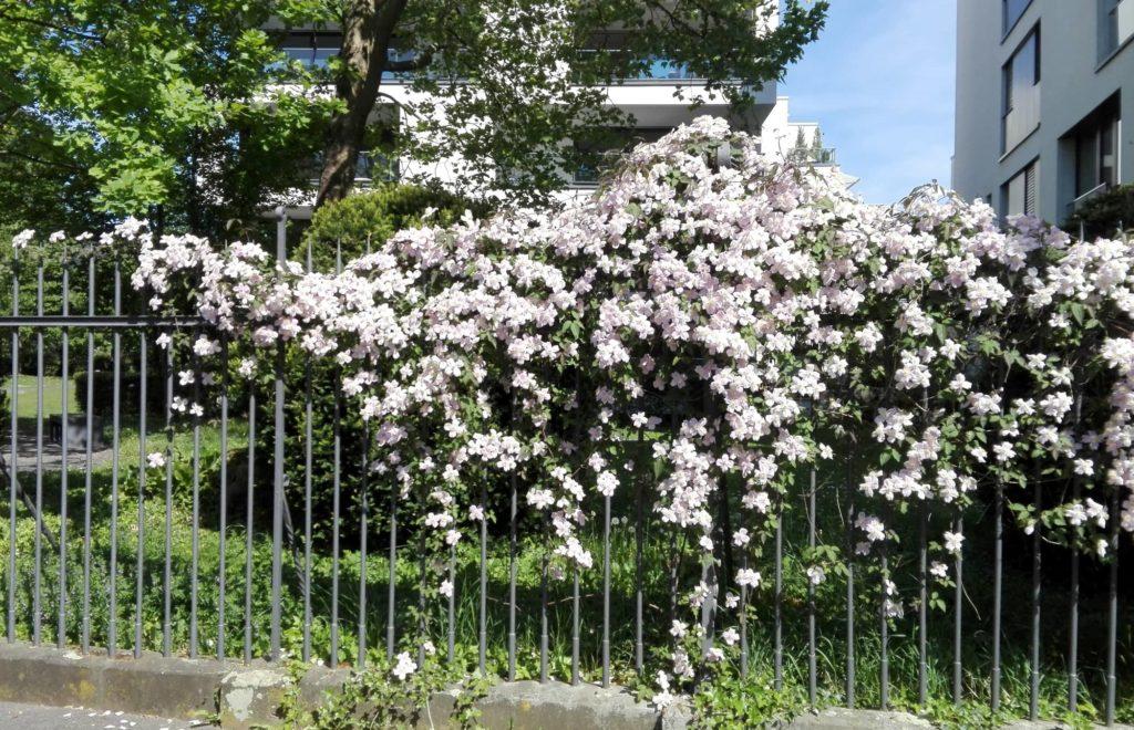 Ein Gartenzaun, üppig mit blühender Clematis bewachsen.