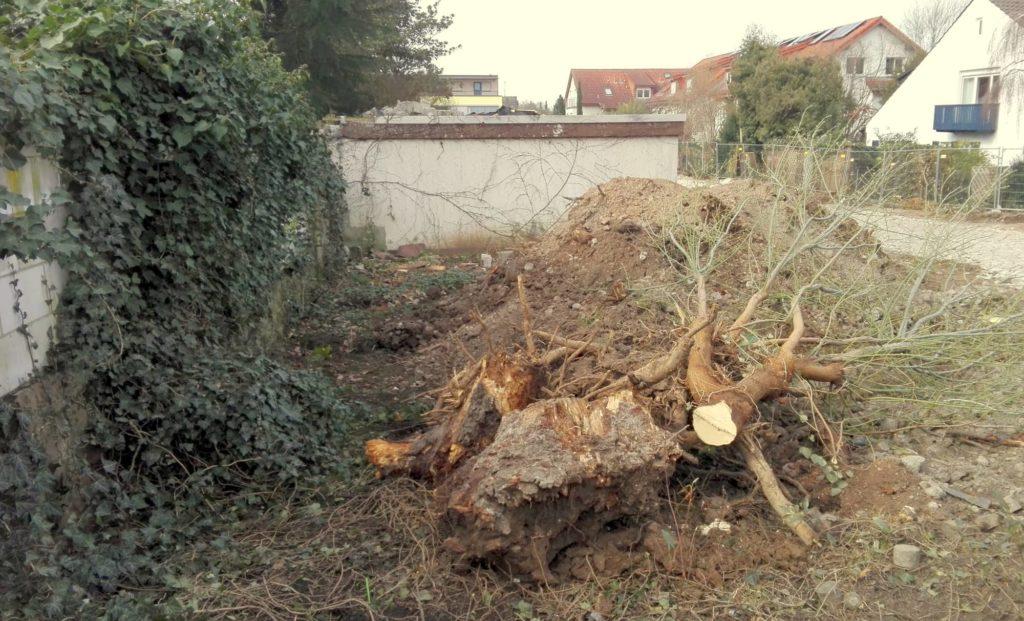 Ein Wurzelstock erinnert noch an den prächtigen Baumbestand.