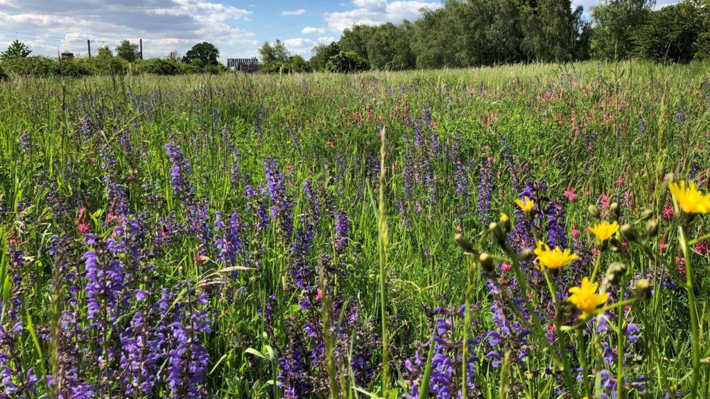 Die Wiese am Ochsenkopf in voller Blüte