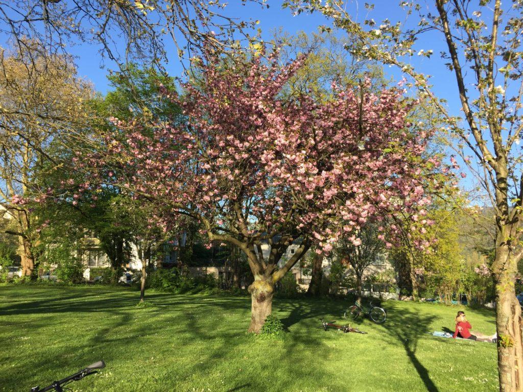 Der Park am Römerbad, Ernst-Walz-Brücke, nördlicher Brückenkopf; Motiv: blühender Kirschbaum