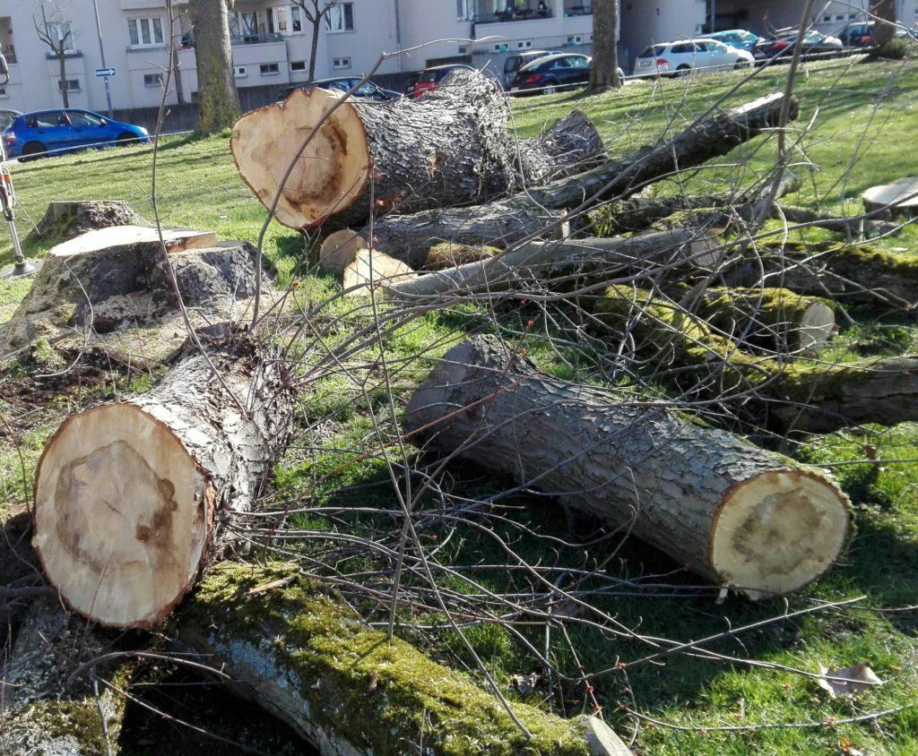 Querschnitt mehrerer Baumstämme mit erkennbaren Verfärbungen aufgrund von Pilzbefall