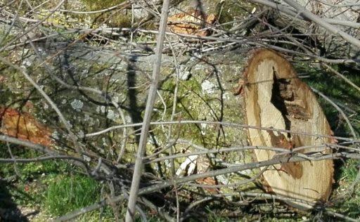 Querschnitt eines Baumstamms mit Hohlräumen aufgrund von Pilzbefall